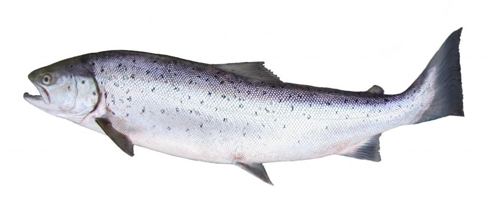 Salmon are one type of fish raised via aquaculture.
