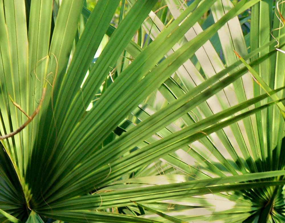 Saw palmetto is a plant that's frequently used in hair thickening products.