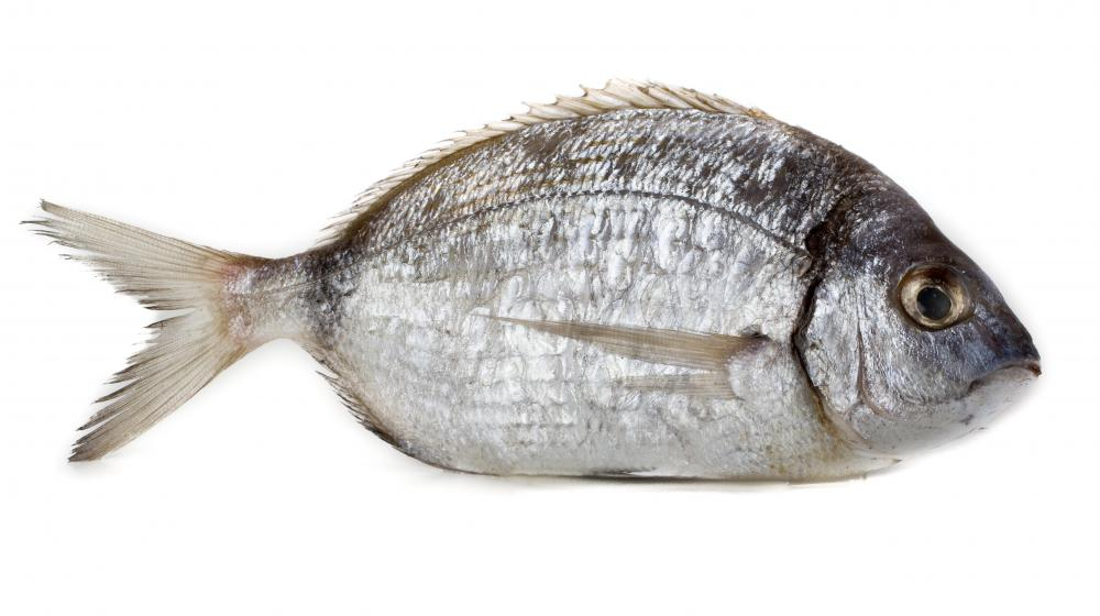 sea bream sparus aurata