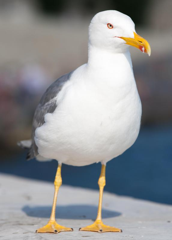 Seagulls have been known to prey on sea urchins when they get the chance.