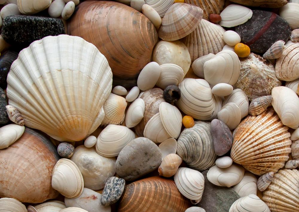 The shells of bivalves are composed of calcium carbonate.