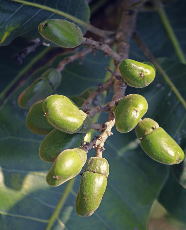 The nuts grown on oriental, or Indian, cashew trees are believed to have medicinal qualities, unlike other cashew nuts.