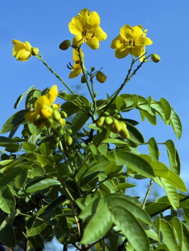 The senna plant is commonly used to make laxative tea.