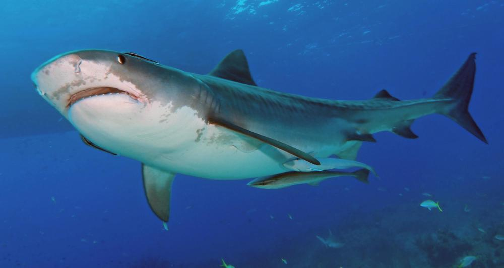 "Shark are a prime example of yawns ""being contagious."""