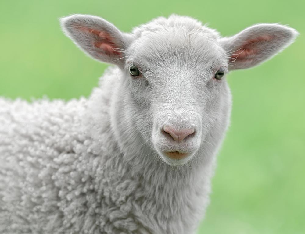 modified sheep to produce aat Genetically modified livestock (gm livestock) are organisms from the group of cattle, sheep, pigs and across species boundaries to produce improved or.