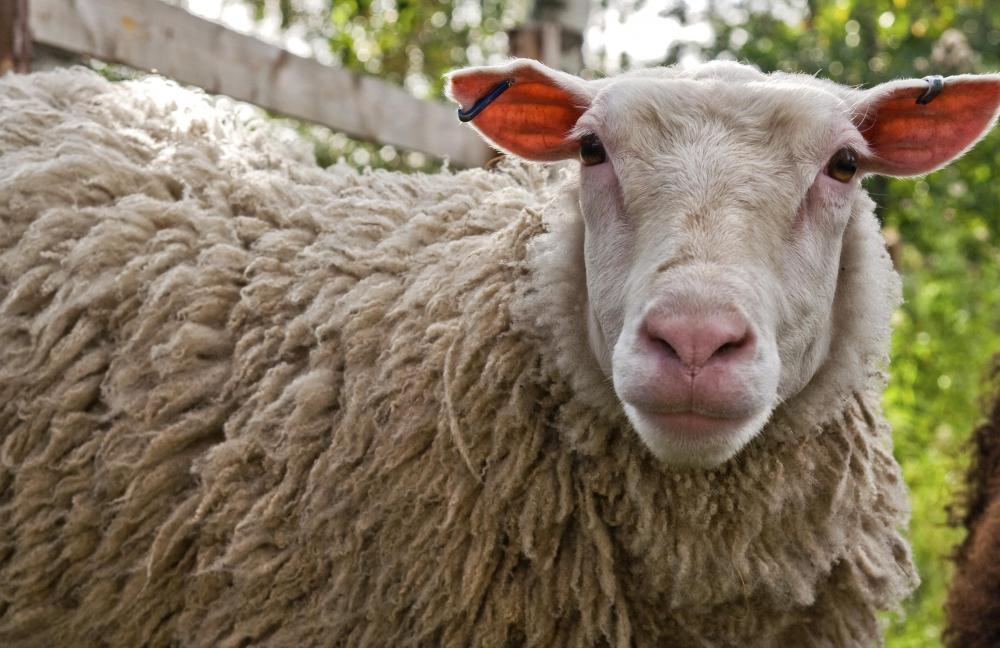 Recombinant DNA technology was used for the reproductive cloning of Dolly the sheep.