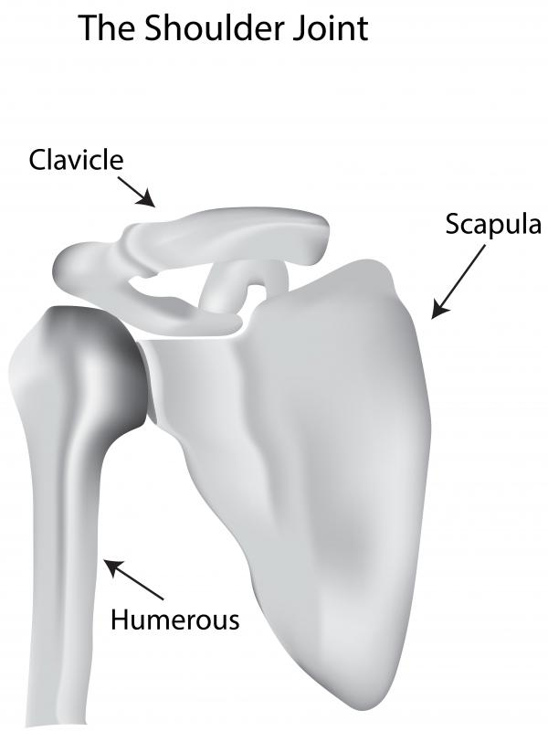 The clavicle connects the shoulder to the sternum.