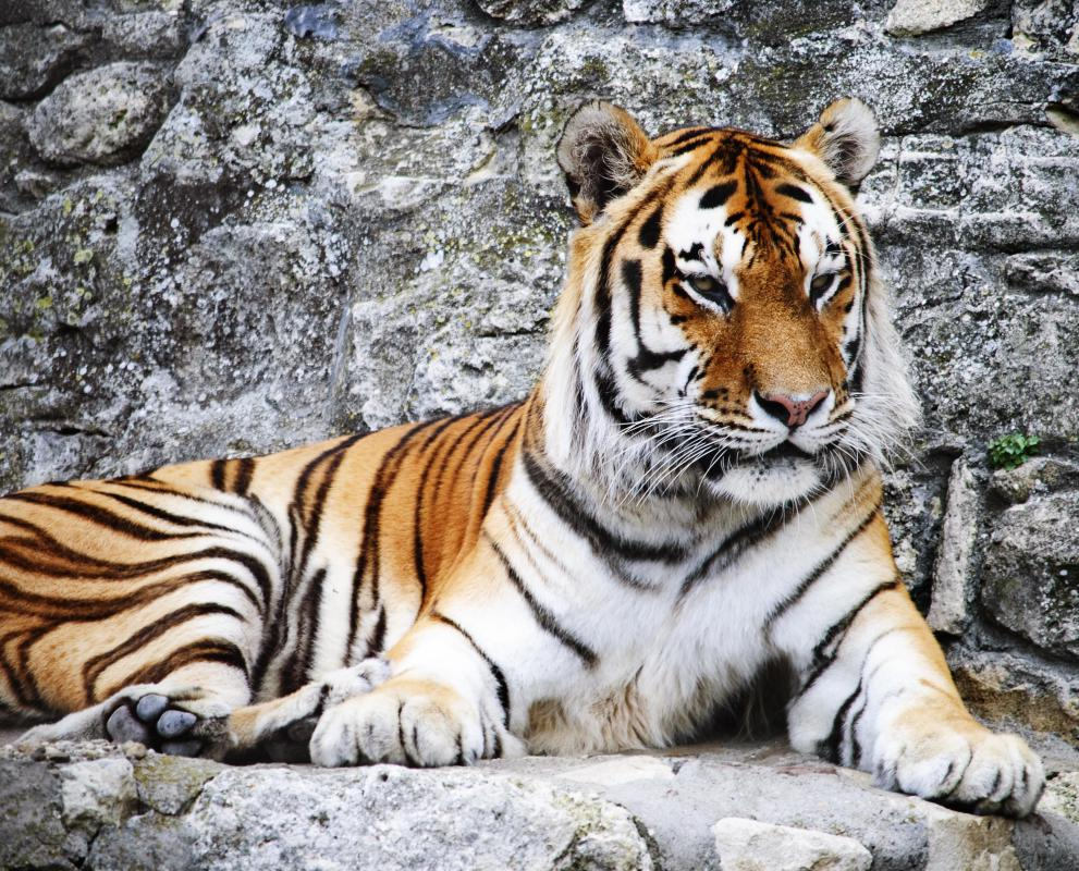 Tigers are protected throughout Asia.