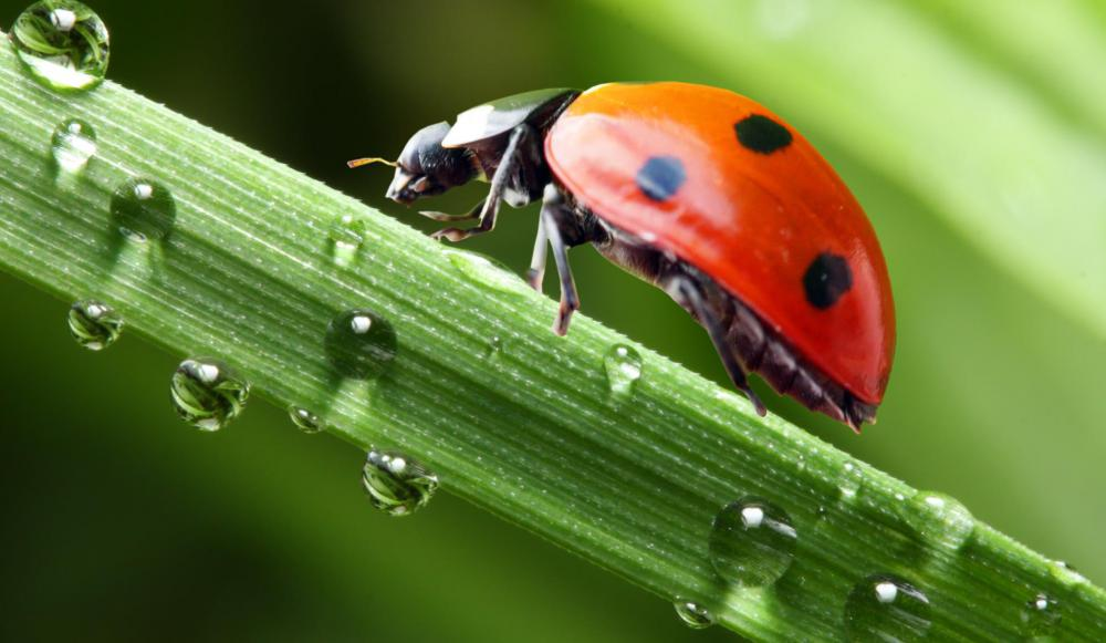 Side view of a crawling ladybug.