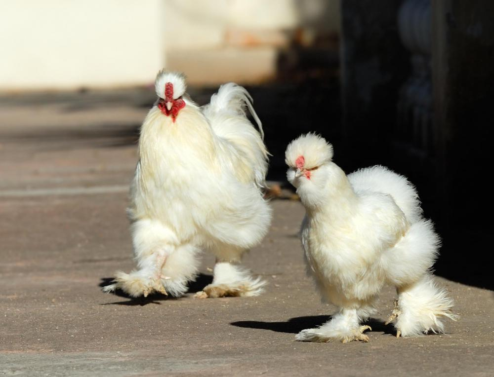Silkie chickens may be raised on a poultry farm.