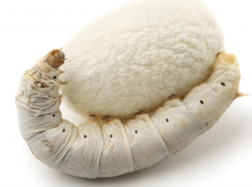 A silkworm, a moth larva, with its cocoon.