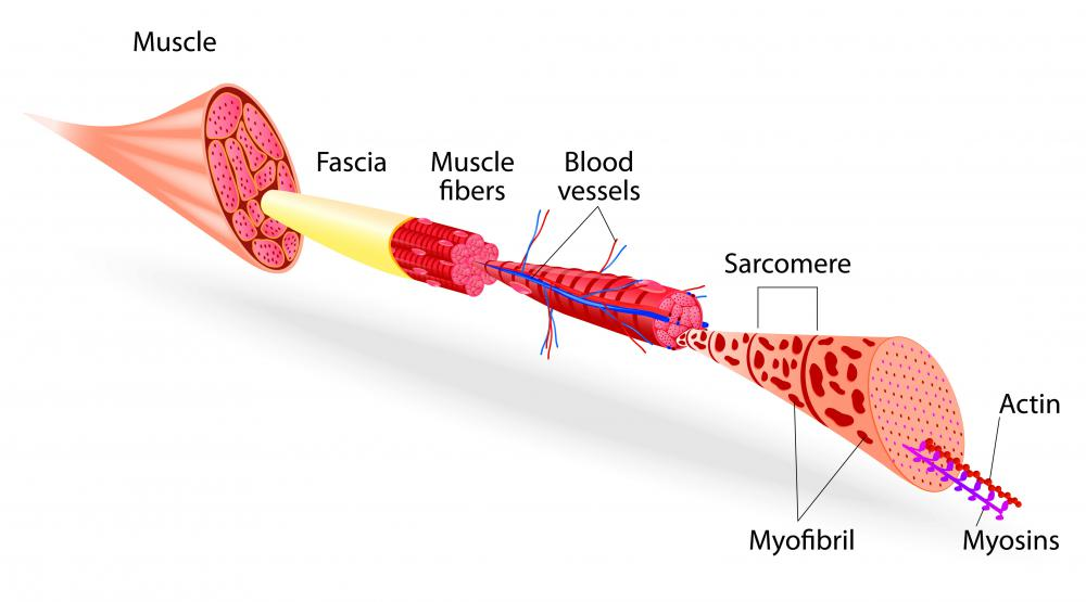 Skeletal muscle structure.