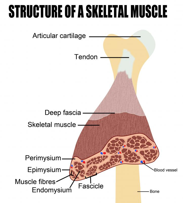 At the macroscopic level, all skeletal muscles are composed of a variety of layers.