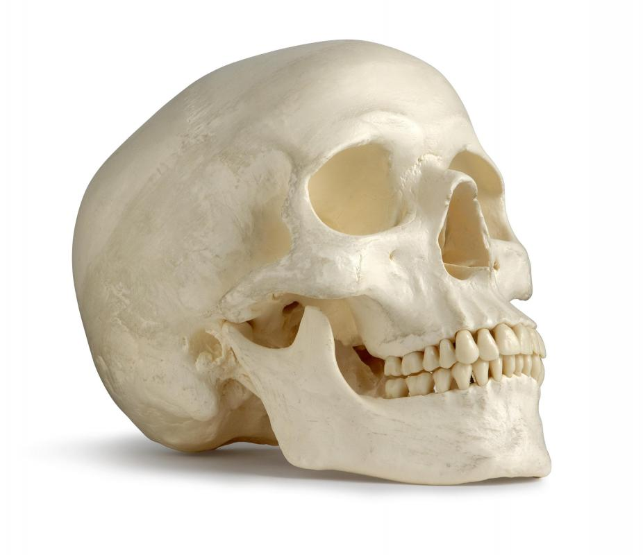 The complete anatomy of the skull consists of the cranium and the many facial bones.