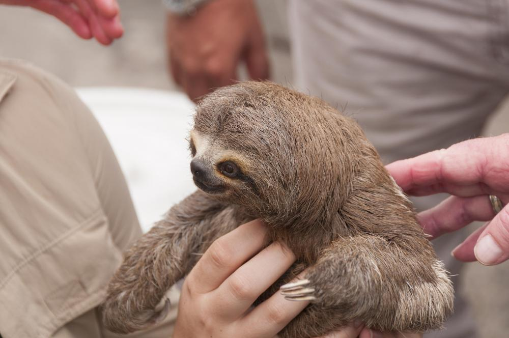 Three-toed sloths live in South and Central America.