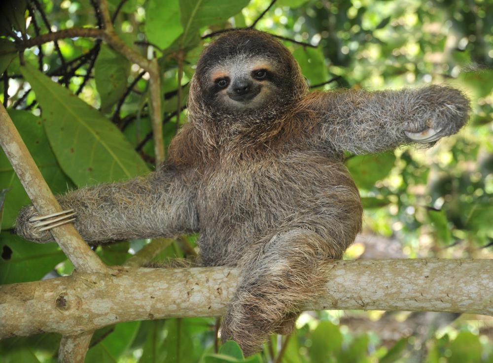 Due to their slow metabolism, sloths do not need much food to survive.