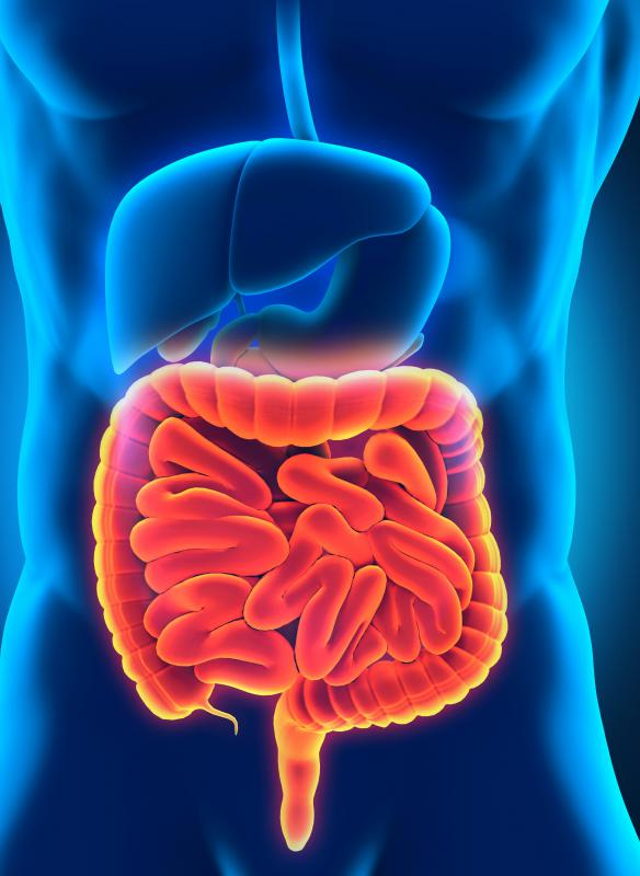 The small and large intestines are included in the intestinal portion of the digestive system.
