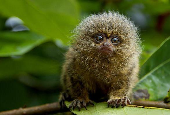 Marmosets are small primates that subsist on tree sap and gum.