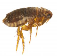 Boric acid dehydrates fleas and attacks their nervous systems.