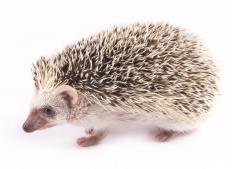 Hedgehogs are popular pets all over the world.