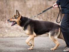 A dog that exhibits ungainliness on walks might be suffering from encephalitis.