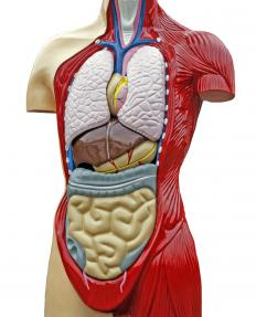 The greater omentum covers most of the small and large intestines.