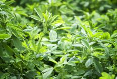 Alfalfa meal is made from the alfalfa plant.