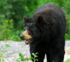 A male American black bear might weigh 600 pounds.
