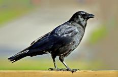 "A crow, the inspiration for the term ""as the crow flies.""."