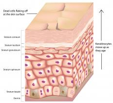 The epidermis consists of multiple layers of epithelial cells.
