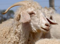 Mohair, produced from the hair of angora goats, was used to make wigs for plastic dolls.
