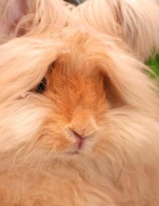 An undercoat rake can remove loose fur from an angora rabbit.