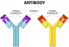 The body produces many different antibodies to help protect against invasion by foreign antigens.