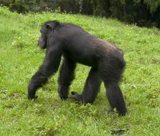 The chimpanzee is an endangered African animal.