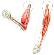 An extensor muscle is located on the back of the upper arm.