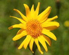 Arnica montana is one of the alternate names for the leopard's bane.