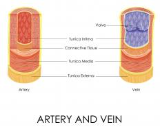 The vasa vasorum provides blood and oxygen to arteries and veins.