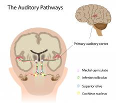 The geniculate nucleus plays an important role in auditory processing.