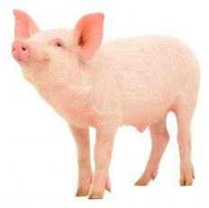 Some biomaterials are taken from pigs and other animals.