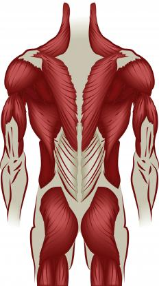 The latissimus dorsi muscles are the large muscles of the back below the shoulder blades.