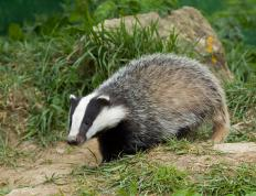 Badgers conserve energy by going into a state of torpor.