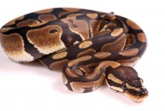 Royal pythons are also known as ball pythons.