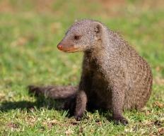 "A fictional mongoose named Rikki-Tikki-Tavi might have been the first ""bright-eyed and bushy-tailed"" creature."