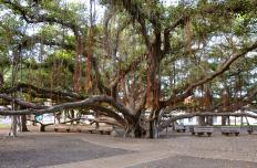 The ground beneath banyan trees is typically cool and shady, making them popular meeting places.