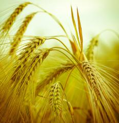 During the malting process, barley grains produce maltose.