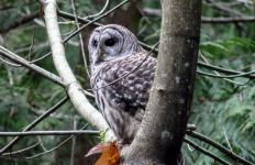 Owls are a natural predator of the canebrake.