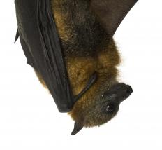 Garambullo plants can be pollinated by bats.