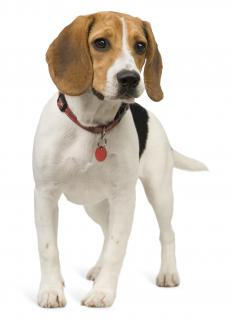 Beagles are often used as scent hounds.