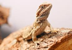 Female bearded dragons often have smaller heads than males.