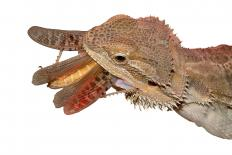 Bearded dragons are susceptible to many different diseases.
